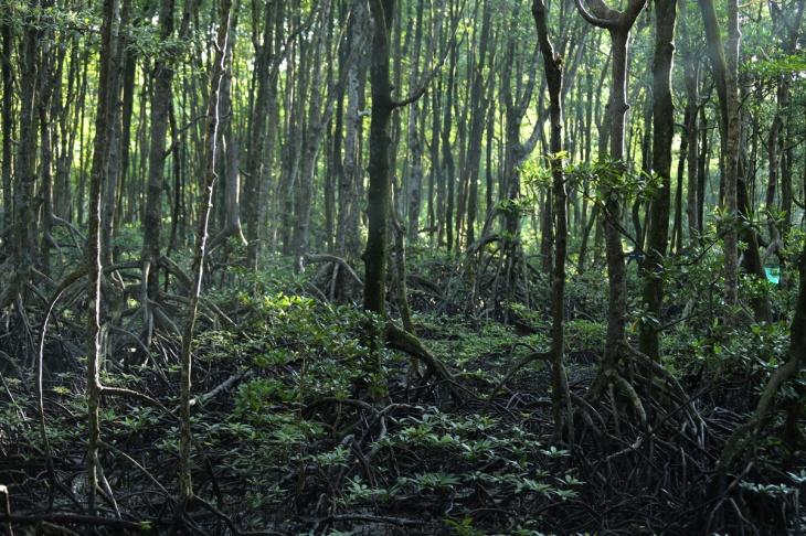 Mangrove Tarakan 2