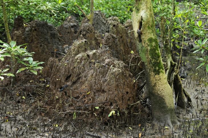 Mangrove Tarakan 5